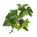 Blackcurrant leaves
